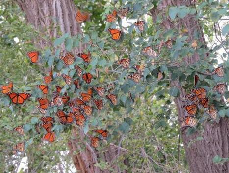 Monarch Butterfly Migration | Journey North Citizen Science Project: Tracking Spring and Fall Monarch Butterfly Migration | STEM Connections | Scoop.it