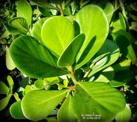Meu cantinho verde: CLÚSIA - ( Clusia fluminensis ) | paisajismo | Scoop.it