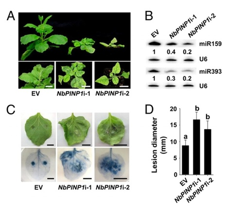 PNAS: Phytophthora effector targets a novel component of small RNA pathway in plants to promote infection (2015) | Plant-Microbe Interaction | Scoop.it