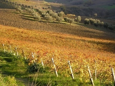White Marche Wines: Not Just Verdicchio   Wines and People   Scoop.it
