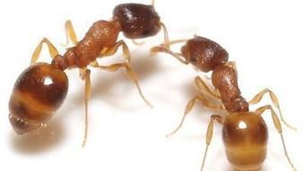 Ants make tough choices better when working in groups, study says | All About Ants | Scoop.it