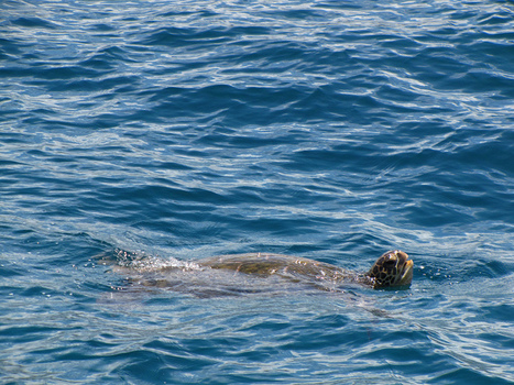Satellites  Reveals Sea Turtle Hotspots in Gulf of Mexico | Texas Coast Living | Scoop.it