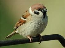 Sparrows change their tune to be heard in noisy cities | Share Some Love Today | Scoop.it