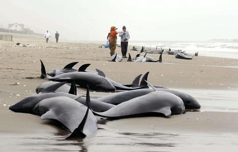 Les dauphins pourraient annoncer les séismes | Japan Tsunami | Scoop.it