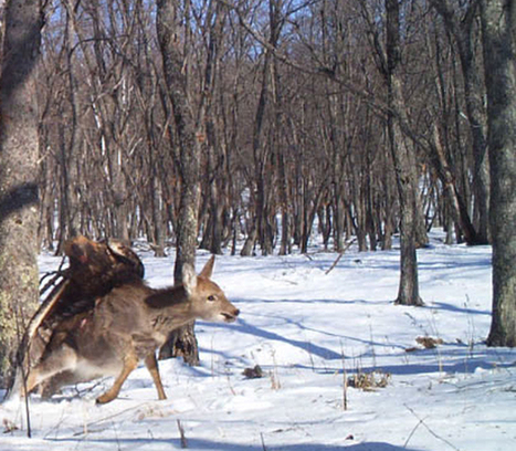 Remote Wildlife Camera Snags Amazing Shots of Eagle Taking Down Deer | Wildlife | Scoop.it