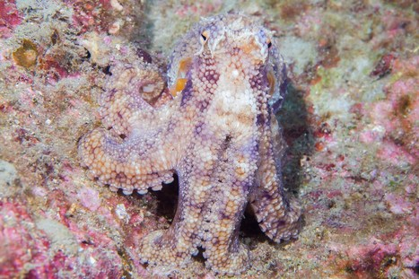 Squid-skin Displays Bring Us Closer to Biotech Camouflage | Biomimicry | Scoop.it