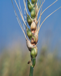 Effect of the Timing of Fungicide Application on Fusarium Head Blight and Mycotoxin Contamination in Wheat | Food Policy News | Scoop.it