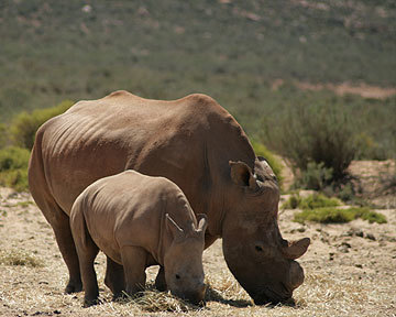 Officials shocked after rhino killings   animal sciences   Scoop.it