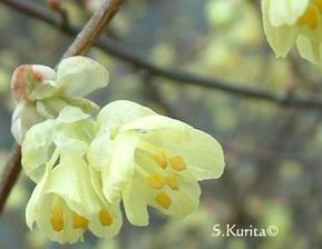 Corylopsis pauciflora - Noisetier du Japon | Lena dans son jardin | Scoop.it