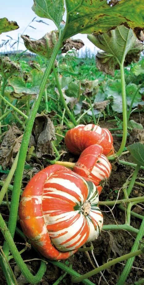 Septembre : patience pour récolter les courges | jardins et développement durable | Scoop.it