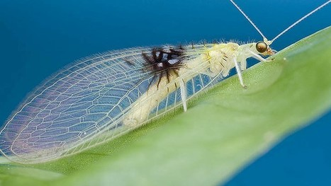 Web photo of insect identified as never-before-seen species | curating your interests | Scoop.it