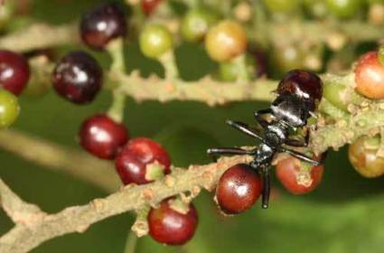Ant parasite turns host ant into ripe red berry, biologists discover | Amazing Science | Scoop.it