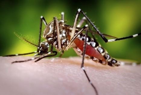 Mosquitos genéticamente modificados para combatir la malaria y el dengue - Naukas | Bichos en Clase | Scoop.it