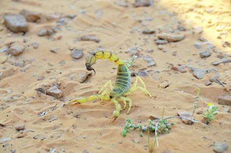 Les piqûres de scorpions, principale  cause d'intoxication au Maroc | EntomoNews | Scoop.it