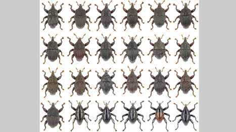 Twenty-four new beetle species discovered in Australian rain forests | Amazing Science | Scoop.it