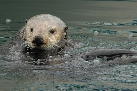 City Sea Otters Live Better Than Their Country Cousins [Slide Show] | Sustain Our Earth | Scoop.it