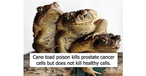 Cane toad poison kills prostate cancer cells | Biotech and Beyond | Scoop.it