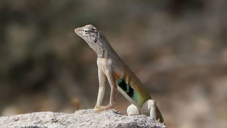 Garden Sage: Relocating lizards yourself would be futile, illegal | CALS in the News | Scoop.it
