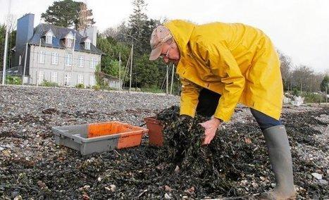 Goémon.  La richesse de la mer pour la terre   Algues en Bretagne   Scoop.it