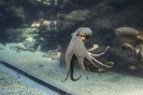 Les pieuvres sont super-intelligentes… maisont-elles uneconscience? | De Natura Rerum | Scoop.it