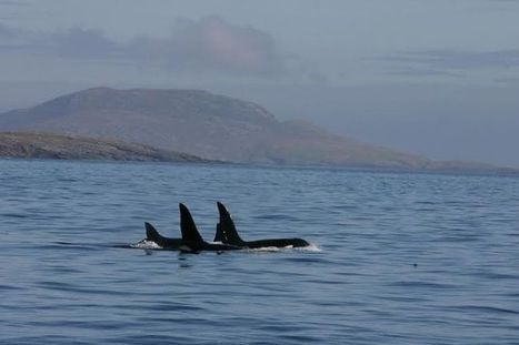 Orcas' Hebridean overture - The Earth Times.   #OrcaAvengers   Scoop.it