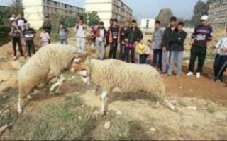 Sacrificial ram butts his owner to death | Quite Interesting News | Scoop.it