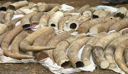 $140m ivory intercepted | Times of Zambia | Kruger & African Wildlife | Scoop.it