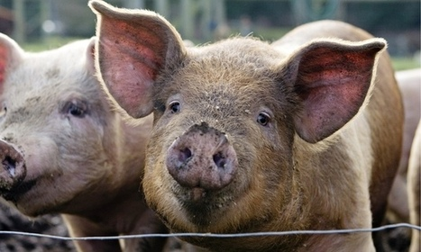 Why do pigs oink in English, boo boo in Japanese, and nöff-nöff in Swedish?   enjoy yourself   Scoop.it