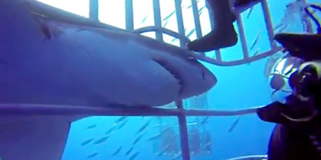 WATCH: Great White Shark Gets Up Close And Personal With Diver | Dive Travel News & Tips | Scoop.it