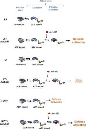 Comparative Analysis of the Flax Immune Receptors L6 and L7 Suggests an Equilibrium-Based Switch Activation Model | Stories of plants and its enermies | Scoop.it