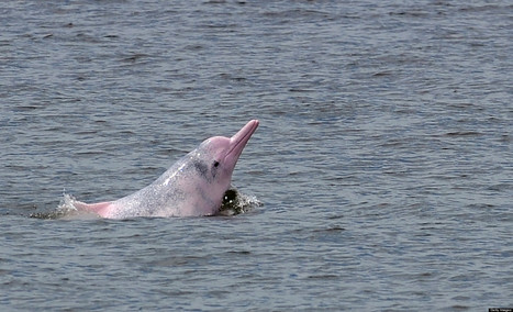 Rare 'Pink Dolphins' Are In Danger, Conservationists Warn | In Deep Water | Scoop.it