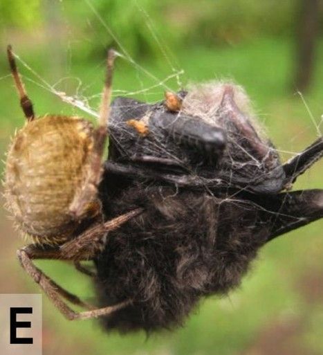 This Collection of Bat-Eating Spiders Is Probably the Scariest Thing You'll See Today | Strange days indeed... | Scoop.it