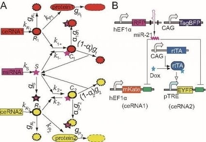 Almost too complex: Model to analyze miRNA-ceRNA interactions and validate them using synthetic gene circuits | Amazing Science | Scoop.it