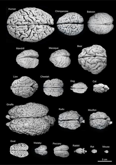 Fogonazos: Comparando nuestro cerebro con otras especies | Medicina | Scoop.it