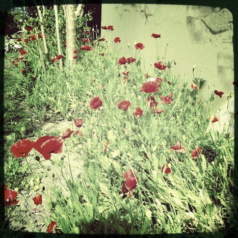 Poppies in the garden | Hipsta | Scoop.it