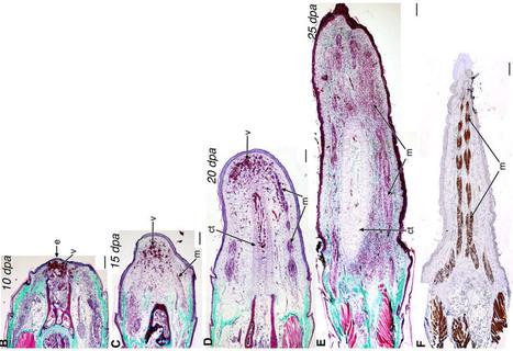 Inside a Lizard's Regenerating Tail | Amazing Science | Scoop.it