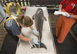 #Feds investigate spike in #DolphinDeaths on East Coast~ could be #morbillivirus an infectious pathogen. More News   Rescue our Ocean's & it's species from Man's Pollution!   Scoop.it