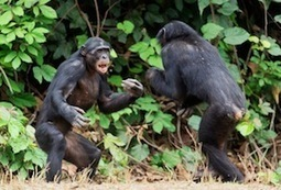 What Can Bonobos Tell Us about Ourselves? | animals and prosocial capacities | Scoop.it