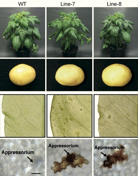 New Phytologist: StCDPK5 confers resistance to late blight pathogen but increases susceptibility to early blight pathogen in potato via reactive oxygen species burst (2012) | Plants and Microbes | Scoop.it