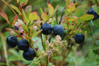 How to Grow Blueberries | Permaculture and Sustainable Living Skills | Scoop.it
