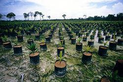 Le palmier à huile menace désormais le bassin du Congo - Journal de l'environnement | On se suit ! | Scoop.it