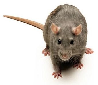 Welcome to the World of the Super Rat: When Is Enough Poison Enough? | YOUR FOOD, YOUR HEALTH: Latest on BiotechFood, GMOs, Pesticides, Chemicals, CAFOs, Industrial Food | Scoop.it