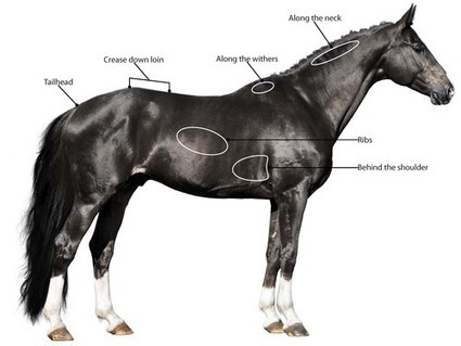 How to Body Score your Horse in Five Minutes or Less | Horse Kinetics | Scoop.it
