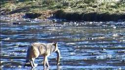 Remote camera captures images of central BC coast wolves fishing - The Globe and Mail | Spy Camera in India | Scoop.it