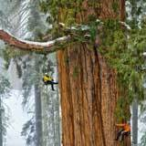 National Geographic - GIANT sequoias | Plant Biology Teaching Resources (Higher Education) | Scoop.it