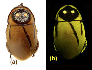 Une espèce de blatte bioluminescente découverte récemment pourrait avoir déjà disparu à la suite d'une éruption volcanique | Mes passions natures | Scoop.it