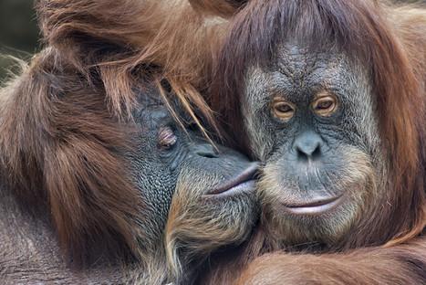 Comment les singes apprennent à se réconcilier   great buzzness   Scoop.it