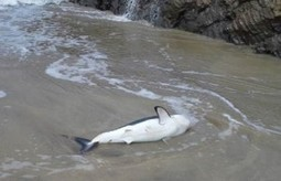 Stranded salmon shark gets a hand | Oceans and Wildlife | Scoop.it