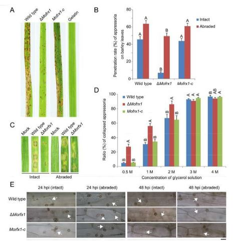 The regulatory factor X protein Morfx1 is required for development and pathogenicity in the rice blast fungus Magnaporthe oryzae | Rice Blast | Scoop.it