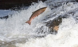 Canada sued over approval of genetically modified salmon scheme | Canada and its politics | Scoop.it